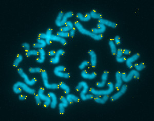 what-are-telomeres